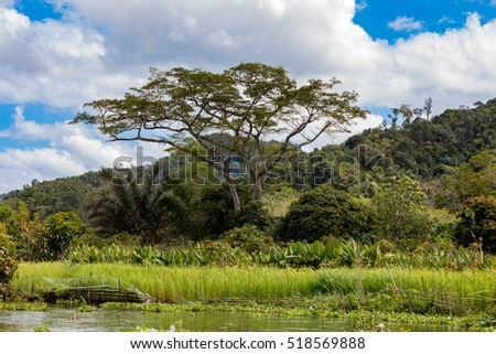 Madagascar river Antainambalana delta landscape in Tamatave province. Big acacia and Alocasia Macrorrhizos Or Elephant Ears in front. Wilderness virgin natural scene in North eastern Madagascar