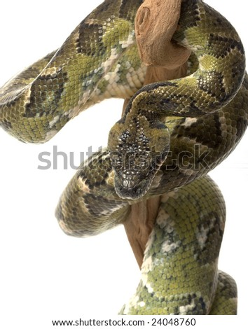 Madagascar Tree Boa (Boa manditra) isolated on white background.