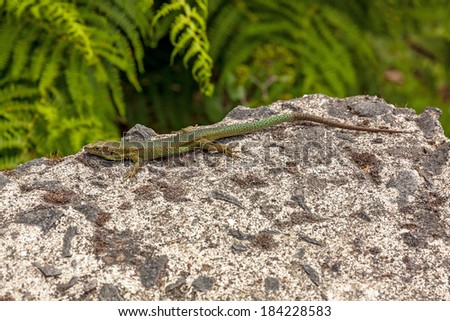 Madeira lizard (Teira dugesii) sitting on a rock, fern in background