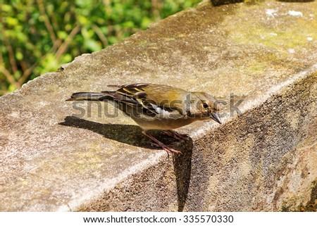 Madeiran Chaffinch - Fringilla coelebs maderensis - stock photo