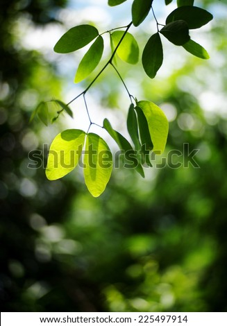 MADRAS THORN leaves, new young light and dark green colorful round leaves growing blooming on the tropical trees after rainy week under bright natural sunlight in jungle with natural bokeh background - stock photo