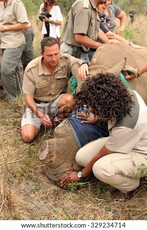 MAGALIESBERG, SOUTH AFRICA - October 14: Dehorning of rhinos in Askari Game Lodge for protection on October 14, 2015 in Magaliesberg, South Africa. Ranger with rhino calf after been dehorned.