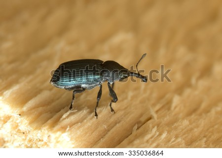 Magdalis weevil on wood - stock photo
