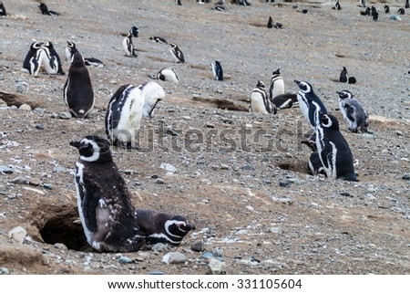 Magellan penguin colony on Isla Magdalena island, Chile - stock photo