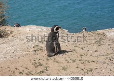 magellan penguin in the Peninsula Valdes Natural Reserve(Argentina) - stock photo