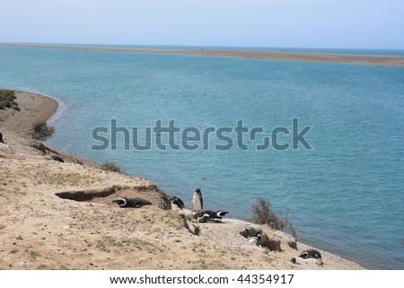 magellan penguins in the Peninsula Valdes Natural Reserve(Argentina) - stock photo