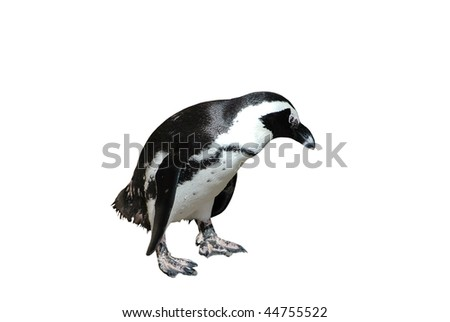 Magellanic Penguin after Swimming Isolated on White Background with Clipping Path - stock photo
