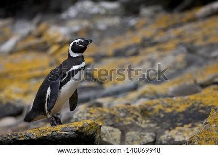 Magellanic Penguin (Spheniscus magellanicus), adult, on Carcass Island in the Falklands. - stock photo