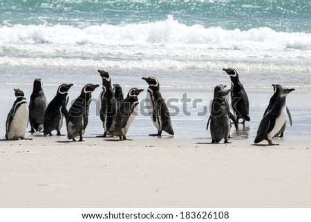 Magellanic Penguin - Spheniscus magellanicus - Falkland Islands / Magellanic Penguins on the beach