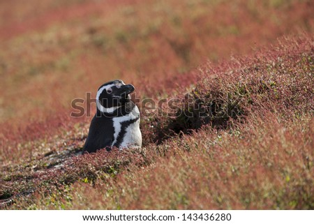 Magellanic Penguin (Spheniscus magellanicus) in it's nesting burrow surrounded by red plants on Steeple Jason Island in the Falklands. - stock photo
