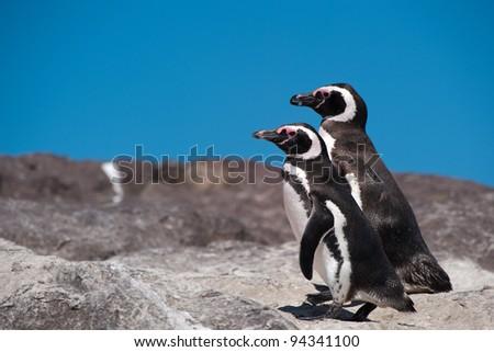 Magellanic Penguin (Spheniscus magellanicus) in Patagonia - stock photo