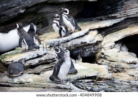 Magellanic Penguin, Spheniscus magellanicus, is a South American penguin, breeding in coastal Argentina, Chile and the Falkland Islands