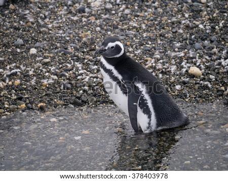 Magellanic penguin (Spheniscus magellanicus) on Isla Martillo, Beagle channel, Ushuaia. - stock photo