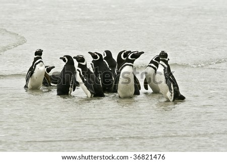 Magellanic penguins (Spheniscus magellanicus) on the beach at Saunders Island, Falkland Islands - stock photo
