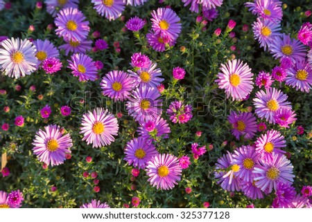 Magenta asters flowerbed, pink autumn flowers close-up - stock photo