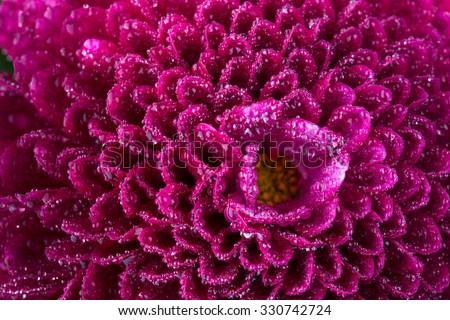 magenta chrysanthemum flower and water drops in macro lens shot small DOF - stock photo