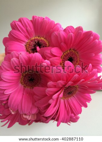 Magenta daisies close up on white - stock photo