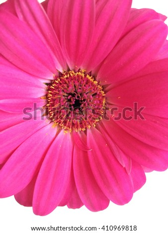 Magenta daisy close up on white - stock photo
