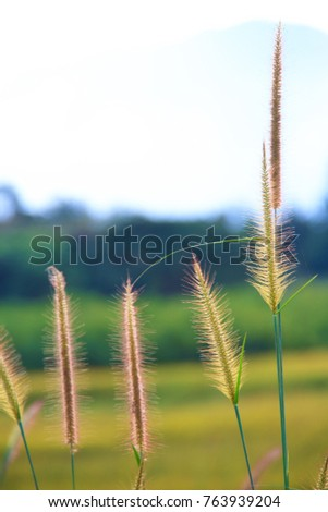 Magenta Golden grass flower in the meadow with blurred natural background.