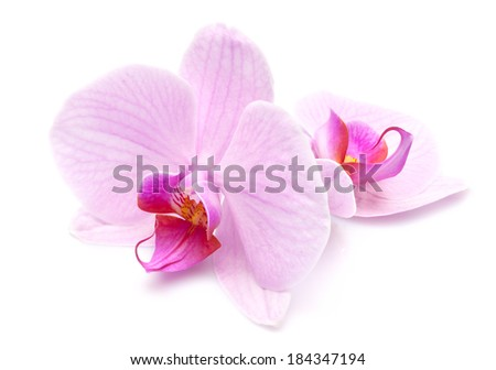 magenta orchid is isolated on white background - stock photo