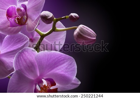 magenta orchid on black background - stock photo