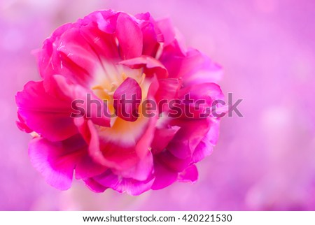 Magenta purple tulip flower closeup (Tulipa gesneriana) on pale Violaceous Vow color blurred background - Happy Mothers day or Valentine Card - stock photo