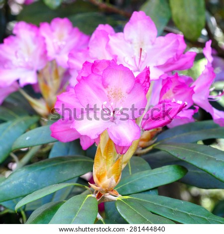magenta rhododendron flowers - stock photo