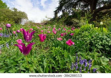 Magenta tulips bloom in a lush country garden in springtime