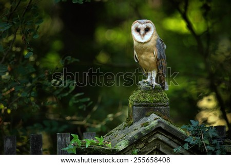 Magic bird barn owl, Tito alba, sitting on stone fence in forest cemetery - stock photo