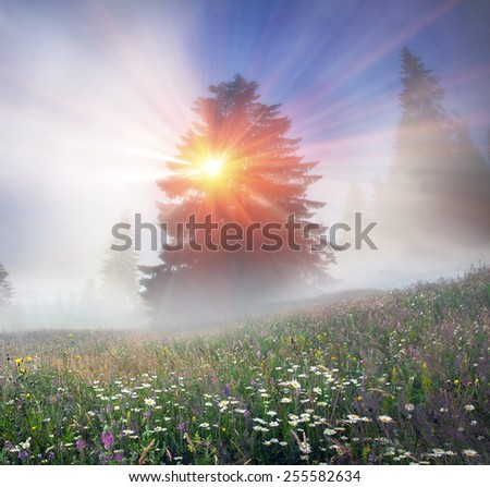 Magic Carpathian forest at dawn filled with the gentle rays of the sun in a misty morning haze. Alpine miracle available to anyone who at  dawn Forest valuable asset of the Carpathians and the Ukraine - stock photo