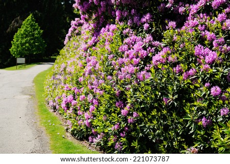 Magic pink rhododendron flowers in the castle garden