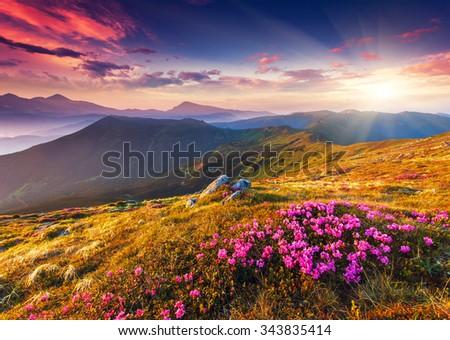 Magic pink rhododendron flowers on summer mountain. Dramatic overcast sky. Carpathian, Ukraine, Europe. Beauty world. - stock photo