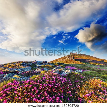 Magic pink rhododendron flowers on summer mountain. Overcast sky before storm. Carpathian, Ukraine, Europe. Beauty world. - stock photo