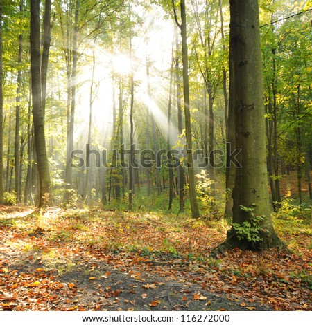 Magical autumn dawn in old beech forest Poland