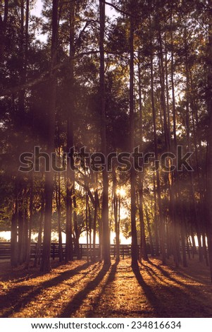 Magical beautiful serene heavenly sun rays beaming through pine trees forest woods at sunrise or sunset creating long shadows - stock photo