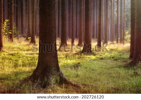 Magical evening forest - stock photo