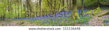 Magical green forest and sunlit wild bluebell flowers. - stock photo