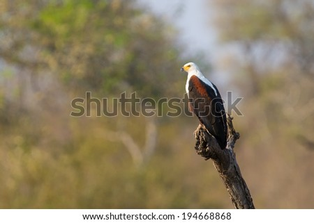Magical lone fish eagle sit in a tree in african sun - stock photo