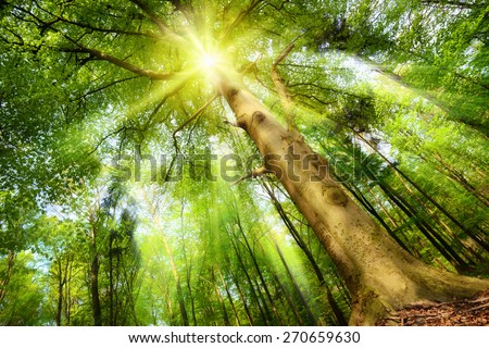 Magical mood in a fresh green forest with the sun shining through a big beech tree's crown and casting beautiful sunrays - stock photo