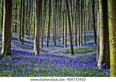 Magical Morning  in forest of Halle with bluebell flowers, Halle, Belgium