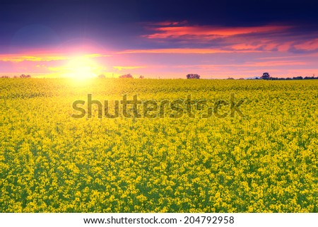 Magical sunset and canola field,Transylvania,Romania,Europe - stock photo
