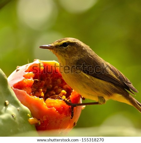 Magnificent bird phylloscopus canariensis on a exquisite ripe prickly pear  looking intently around before eating the juicy fresh pulp of a sweet fruit, on unfocused natural green background - stock photo
