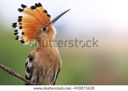 magnificent bird with bangs  sunny hotspot - stock photo