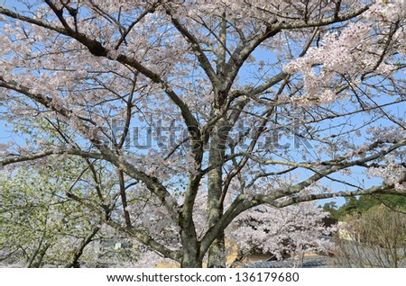 Magnificent cherry blossom trees in full bloom. Kyoto Japan at spring - stock photo