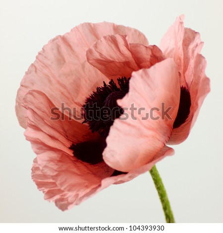 Magnificent close up shot of pink oriental poppy - stock photo