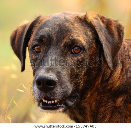 Magnificent closeup of domestic canary dog posing and watching intently, on unfocused natural background