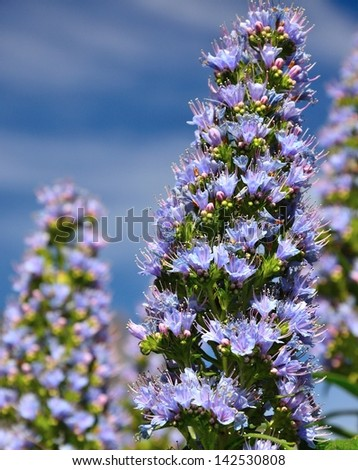 Magnificent echium callithyrsum in early spring with its large clusters of small blue flowers, radiant wildflowers endemic of canary islands in all its splendor on background of blue sky and clouds  - stock photo