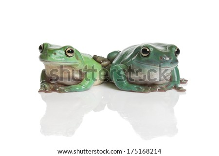 Magnificent green tree frog, Litoria splendida, isolated on white background - stock photo
