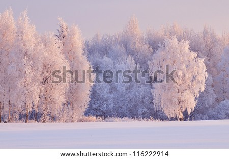 Magnificent hoarfrost on birches. A winter forest on rising in a hard frost. - stock photo