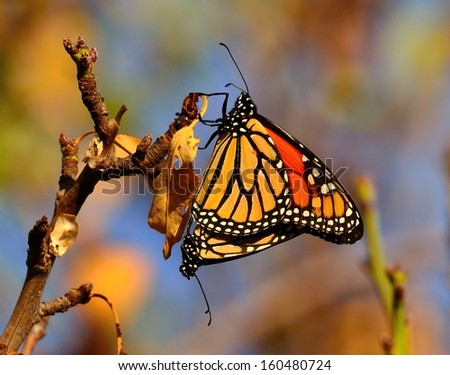 ... monarch butterflies coupled in perfect harmony in its mating